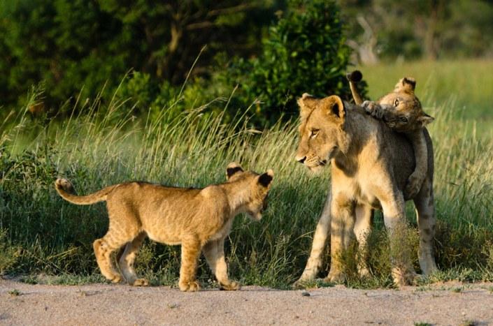 South Africa Luxury Safari - Sabie Sands Lions