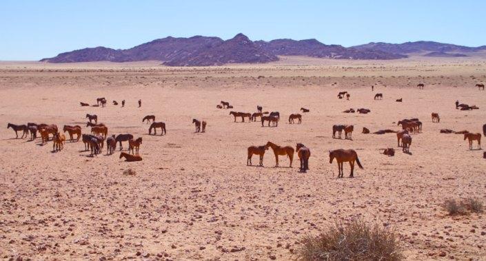 Wild Horses Namib Desert Aus