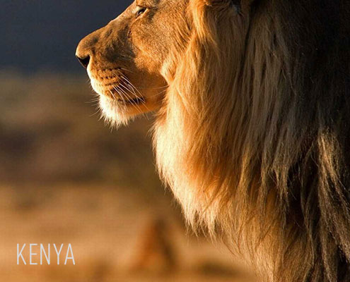 Luxury Safaris Kenya - Lion in the Maasai Mara