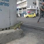 Lizard in Streets of Cartagena