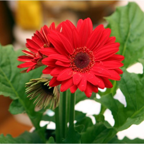 Medium Crop Of Gerbera Daisy Annual Or Perennial