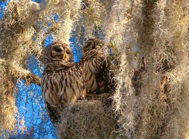 barred-owl-2_fotor