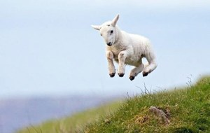 goat kid leaping