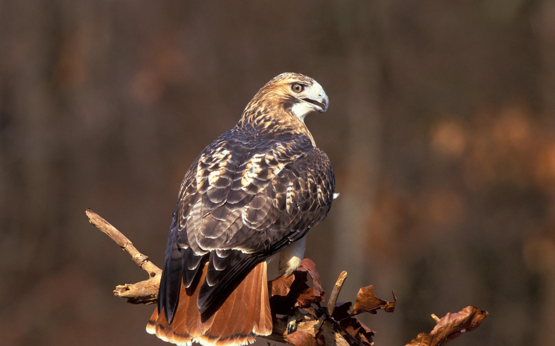 Fall Feather Wood Wallpaper Red Tailed Hawk Audubon Field Guide