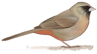 Cute Cartoon Bird Wallpapers Guide To North American Birds Audubon