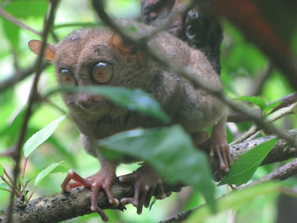 A friendly tarsier clambers down to greet us (or eat an insect) at the Tarsier Sanctuary in Bohol