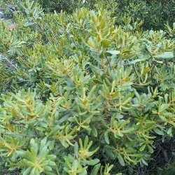 Small Crop Of Wax Myrtle Tree