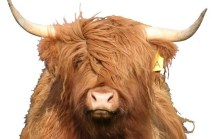 Ennerdale Highland Cattle - Scottish Gaelic Names
