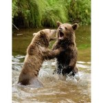 don-ours-brun-dans-les-pyrenees