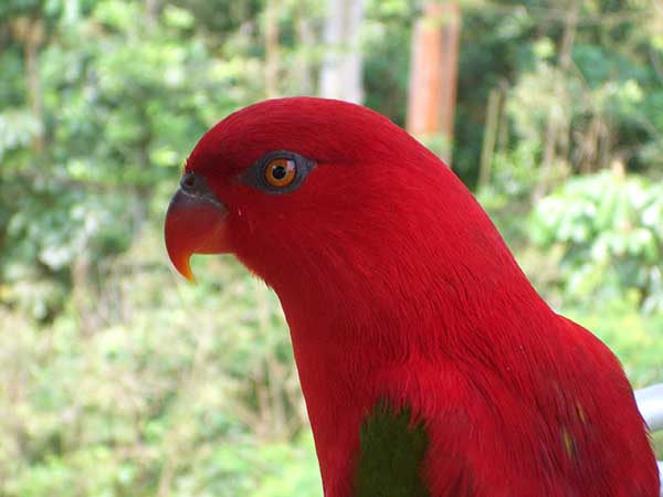 They are one of the most beautiful lories, and visitors unfamiliar with lories always admire them tremendously
