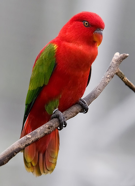 The Chattering Lory is a member of the genus Lorius. The members of this genus is unmistakable: large, stocky lories with longish, broad tails.