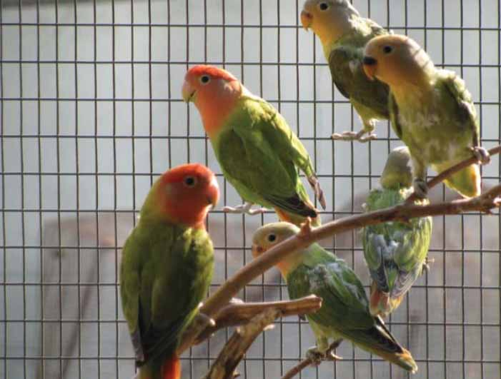 A pair of Dark Green Opaline Rosy-face Lovebirds with four babies.
