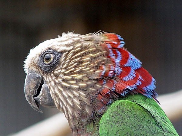 Close up side shot of the Hawk-headed Parrot