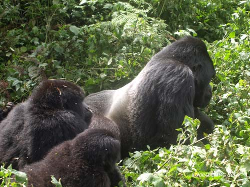 threat of endangerment the mountain gorilla Essays - largest database of quality sample essays and research papers on gorilla zoo observation.