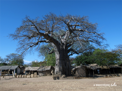 baobab tree malawi