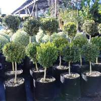 Buxus-Sempervirens-English-Box--Standard-Low-August-2015