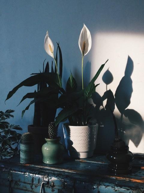 peacelilly (spathiphyllum)