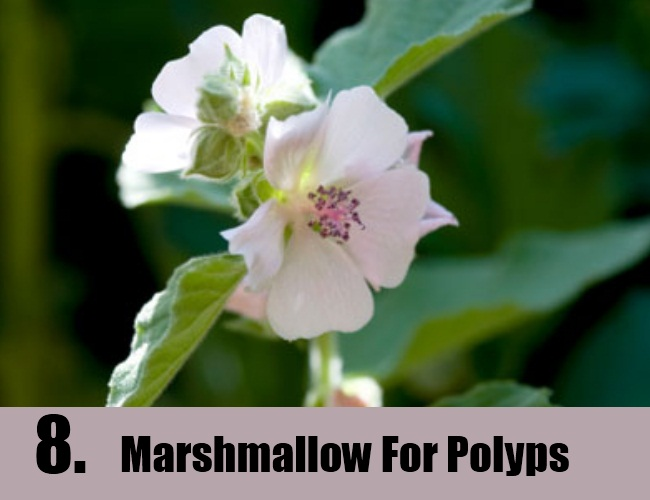 Marshmallow For Polyps