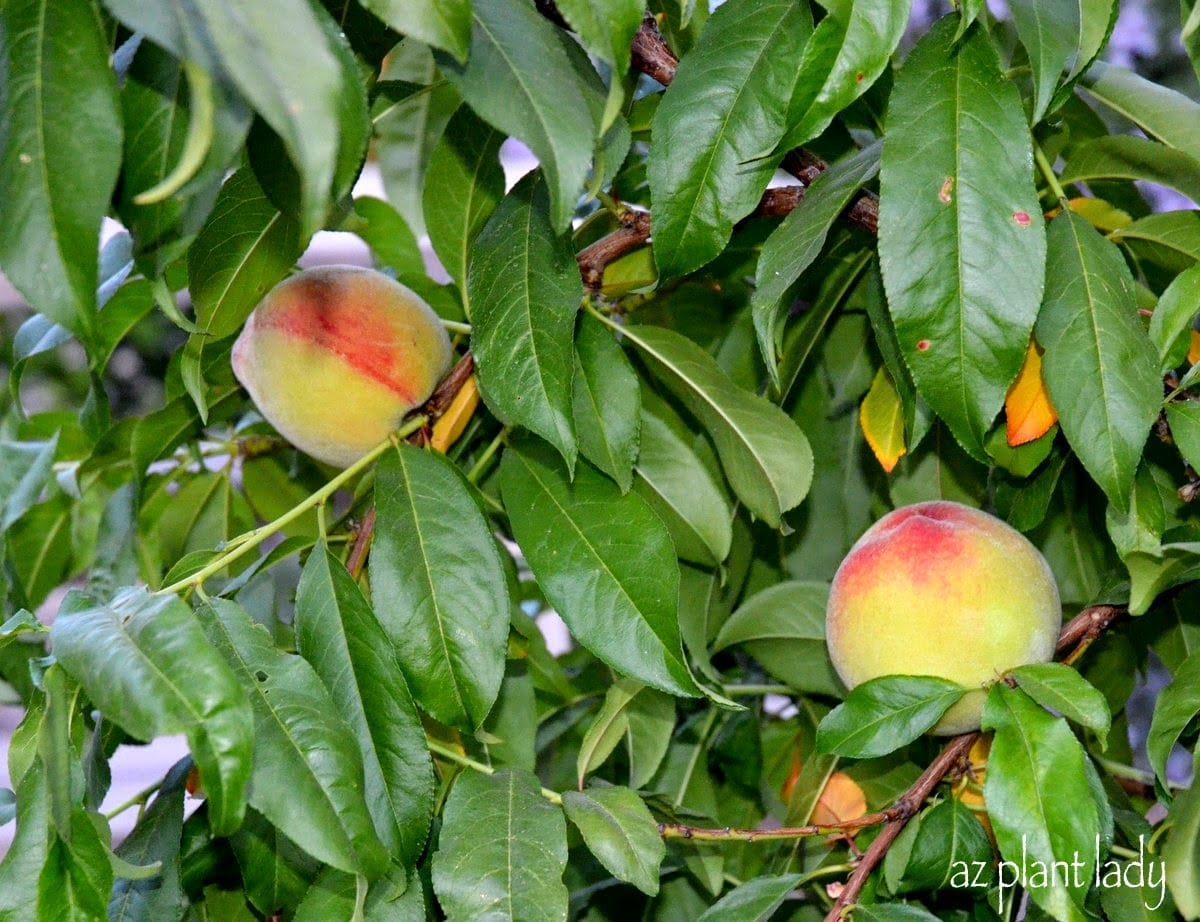 Fruit Tree Suckers How To Identify And Get Rid Of Them