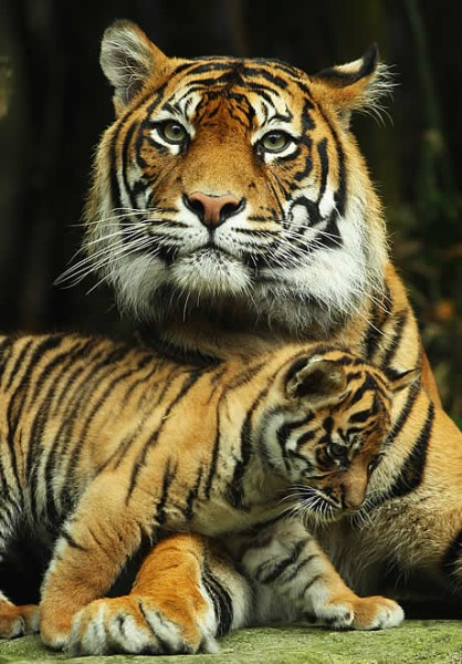 Wallpapers Hd Tattoo Tiger Cub Triplets Born In Sydney Zoo Baby Animal Zoo