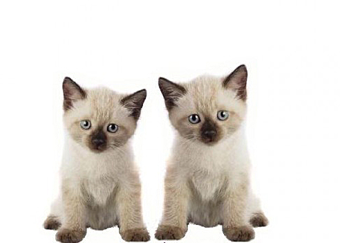 Baby Cat Cute Live Wallpaper Hey Ol Blue Eyes We Are Siamese If You Please Baby