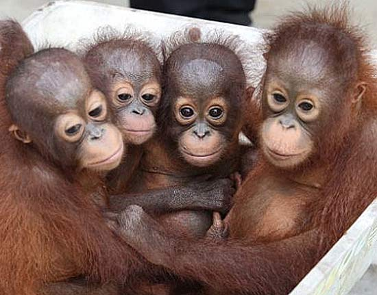 Cute Ape Wallpaper Baby Orangutans Enjoy The Early Years With Mom Baby