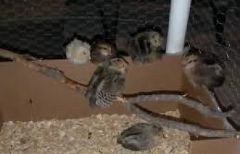 How To Raise Baby Chicks The First 60 Days Of Raising Baby