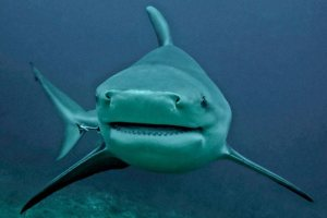 Bulls sharks: some of the world's most dangerous