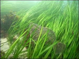 underwater_grass