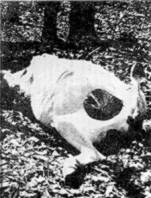 The corpse of a cow supposedly 'cored' by aliens for tissue samples