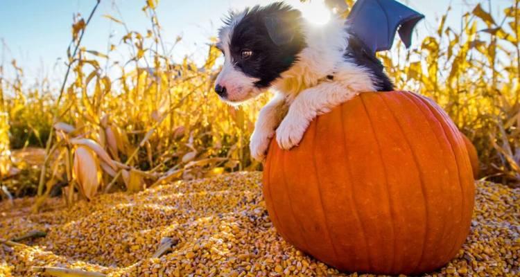 Puppy Halloween