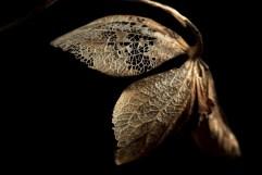 Skeletal Butterfly