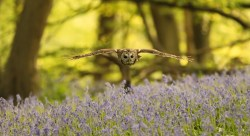Tawney owl takes evening flight by Richie