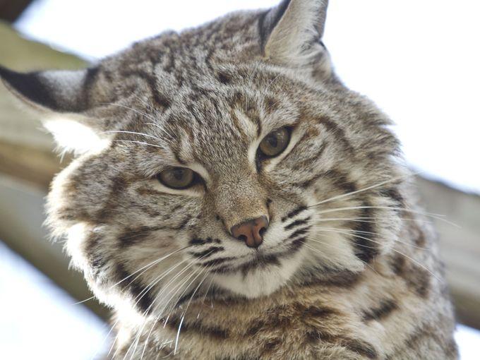 Bobcat Hybrid Has Furever Home - Bagheera the Diabetic Cat