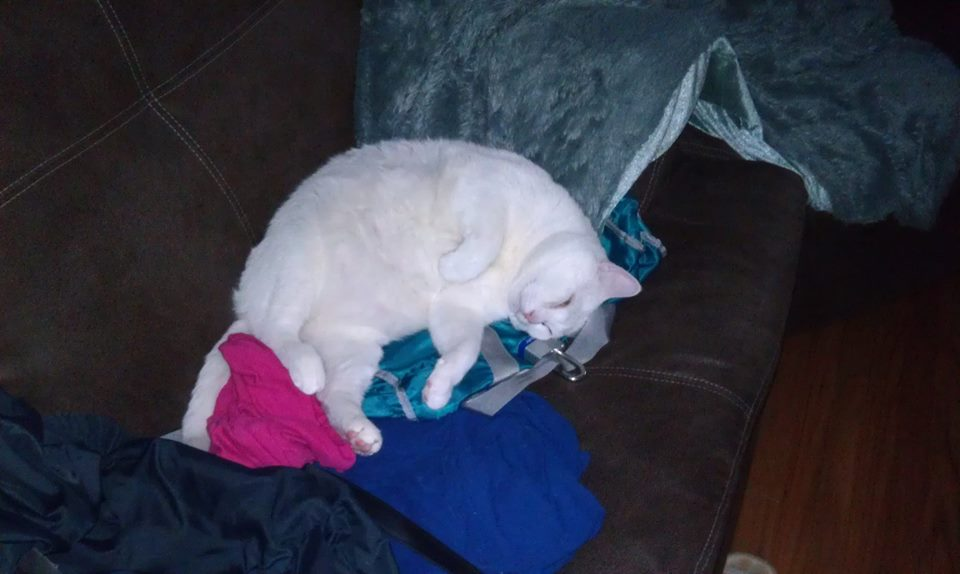 Snowball Is a Diabetic Cat Who Needs a Home