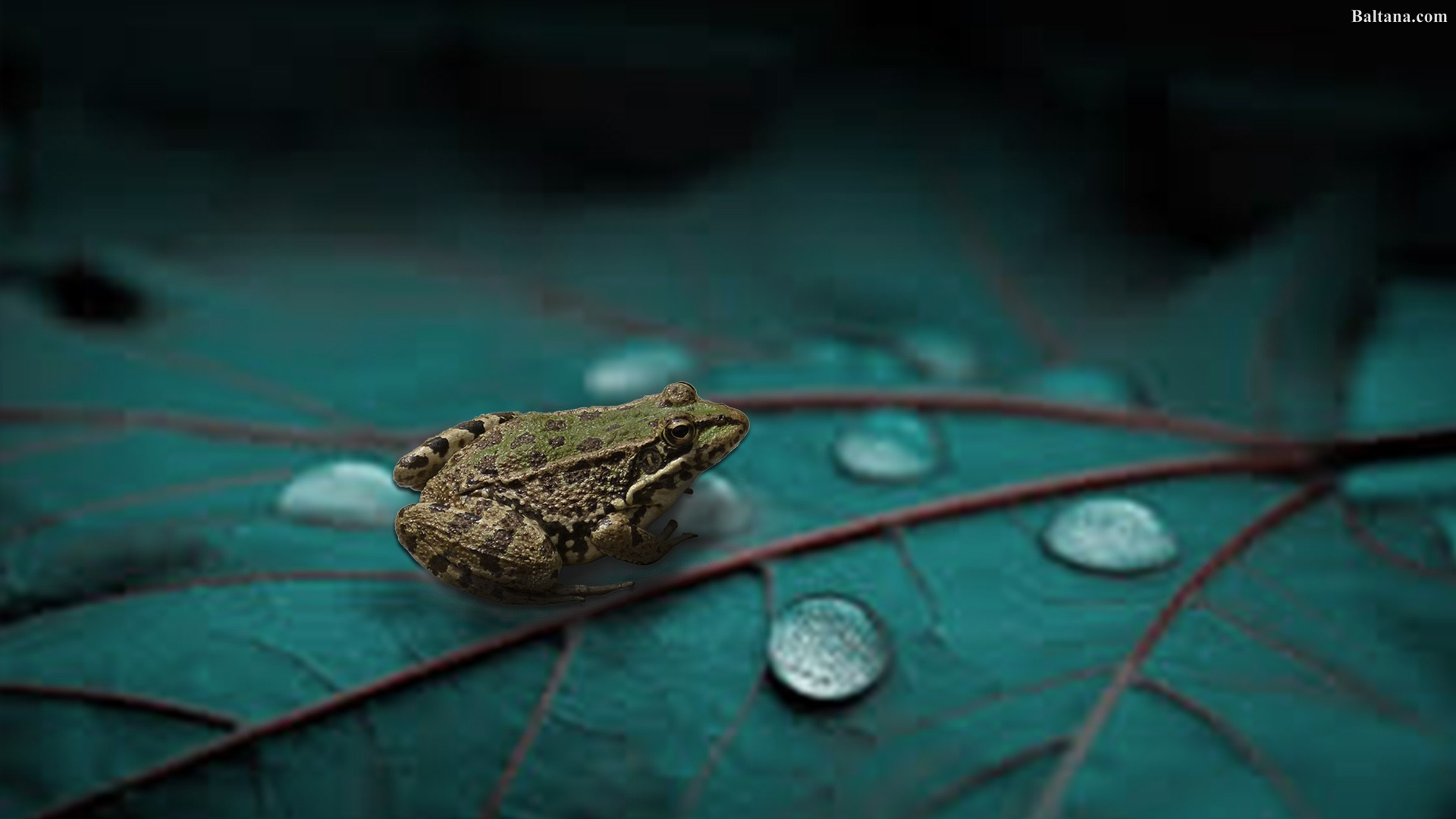 Funny Frog Wallpaper Quotes And Pictures Frog Wallpapers Hd Backgrounds Images Pics Photos Free