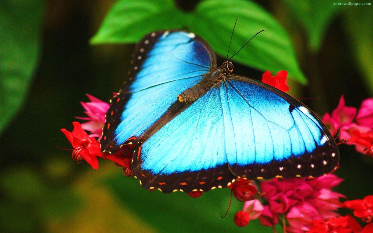 Hd Wallpapers Butterflies Widescreen Blue Morpho Butterfly Wallpaper Hd 20752 Baltana