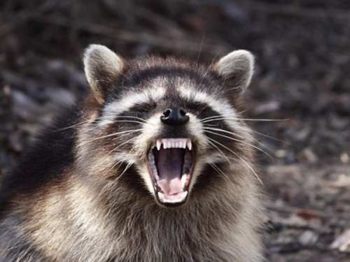 rabies raccoon