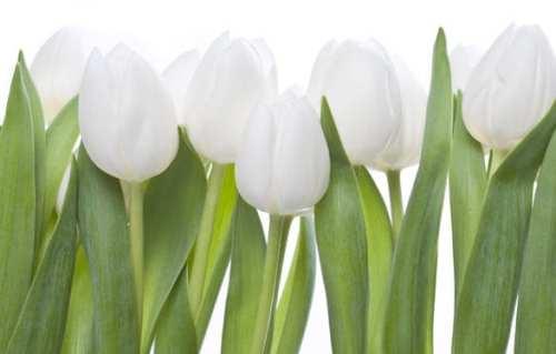 Planet.Tulips.LG