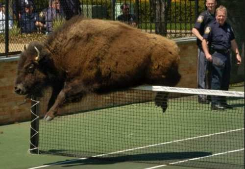 house:bison