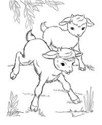 disegno di capretti da colorare..disegno di capre con ...
