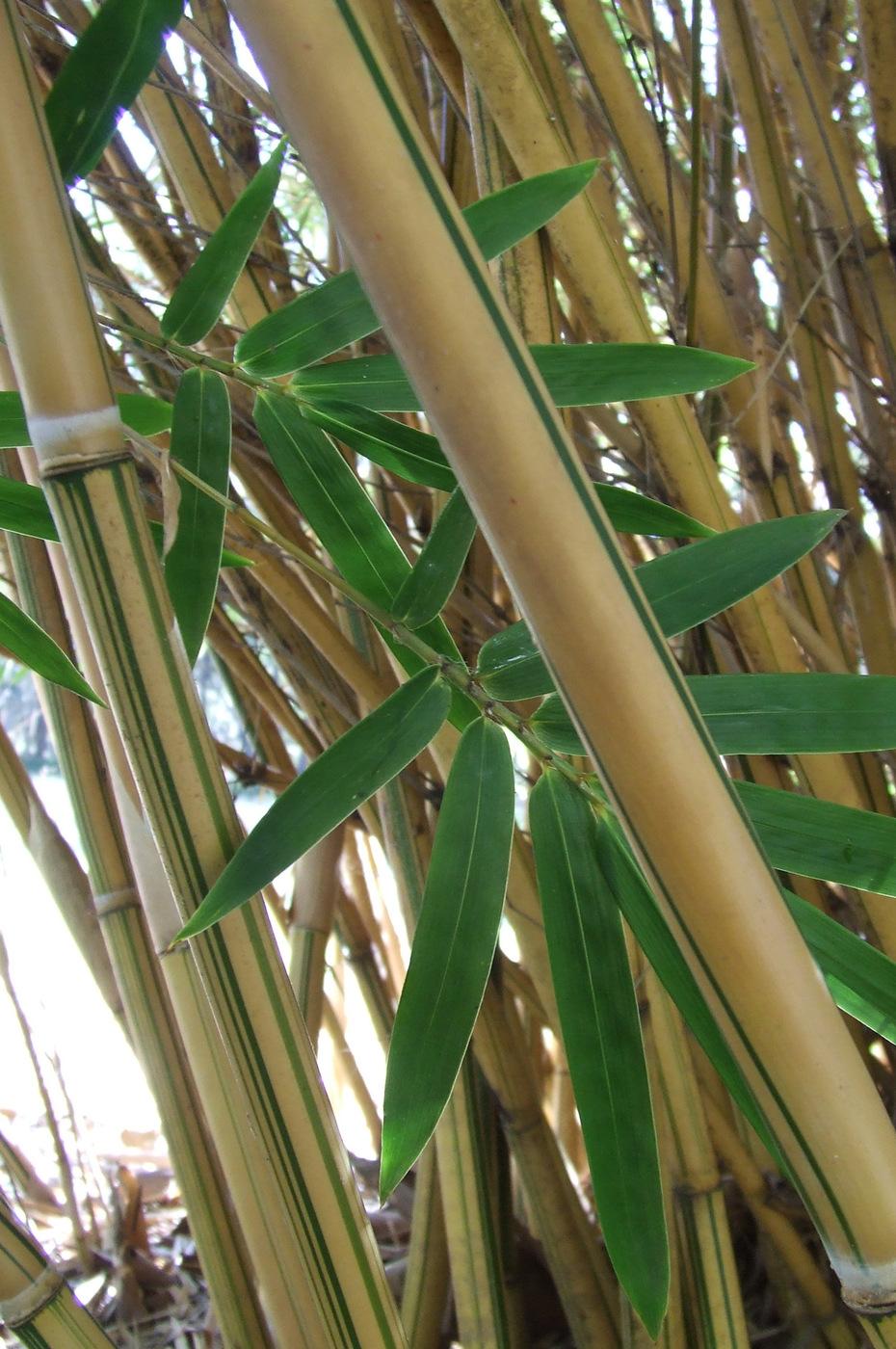 Fullsize Of Alphonse Karr Bamboo