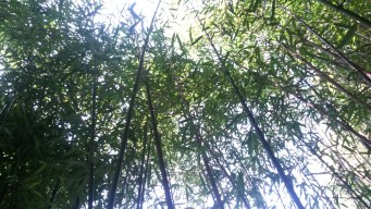 ...der Bambuswald