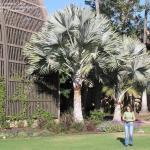 Niebieska palma Bismarcka – Bismarckia nobilis (Silver)