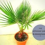 Zimowanie palm – kiedy schować palmę do zimowej kwatery