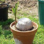 Uprawa palmy kokosowej (Cocos nucifera)