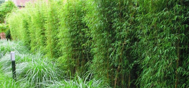 6 zalet żywopłotu z bambusa