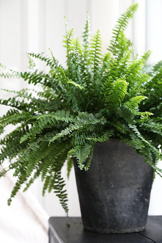 rośliny do biura paprotka