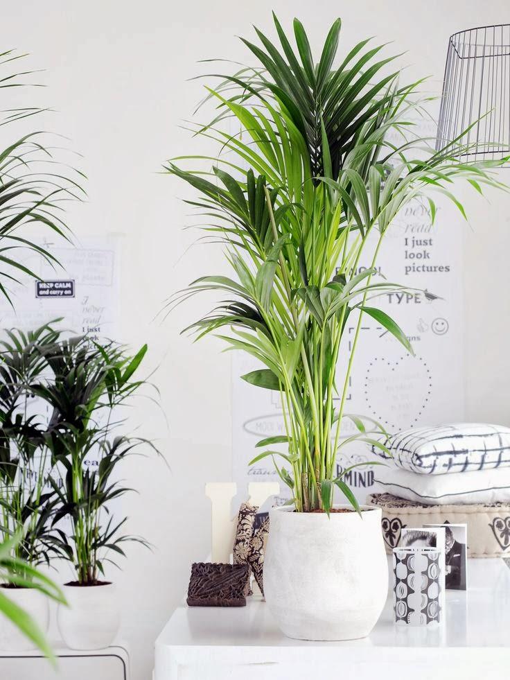 Palma kencja howea wszystko co musisz wiedzie o jej for Zimmerpflanzen dekorativ