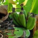 Uprawa bananowców w gruncie